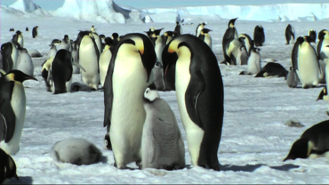 Animals of the Ice: Emperor Penguins