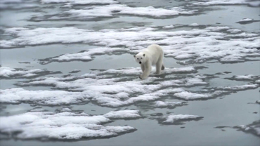 Animals of the Ice: Polar Bears