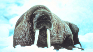 Animals of the Ice: Walruses