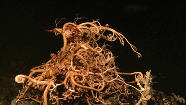 CREATURES OF THE DEEP: BASKET STAR (Part 2)