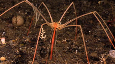 CREATURES OF THE DEEP: DEEP SEA SPIDER (PART 4)