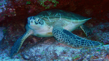 Endangered Ocean: Sea Turtles