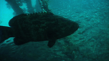Gentle Giants: Goliath Grouper