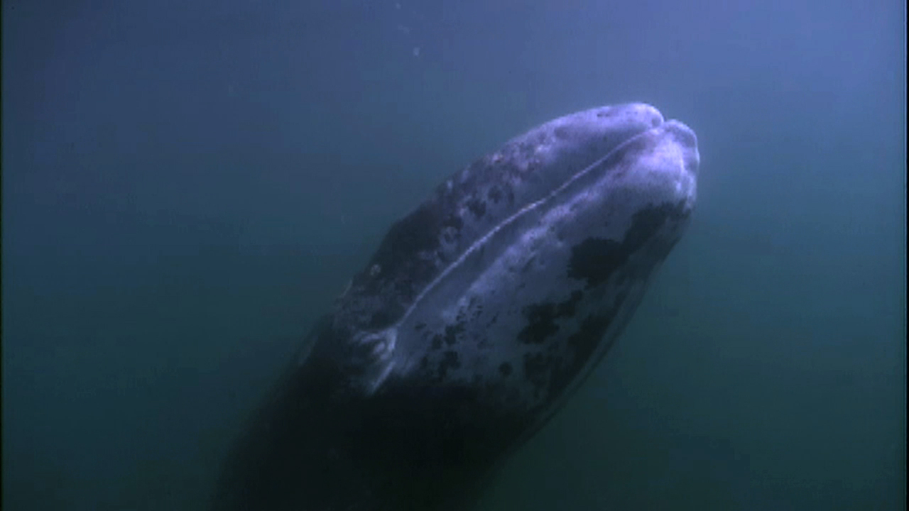 Gray Whale Migration | Ocean Today