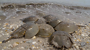 Horseshoe Crab Spawning - A Field Report