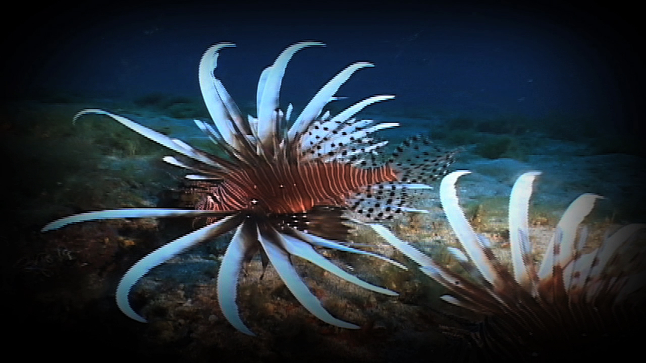 lionfish smimming near a coral reef