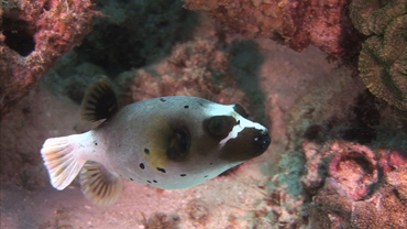 Weird Animals: Black Spotted Puffer Fish